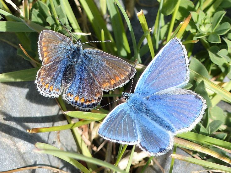 Common blue butterflies, Grave of the Yellow Men, May 2017.