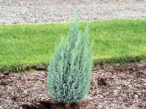 Kigi Nursery - Chamaecyparis lawsoniana  Blue Gem  Dwarf Lawsons Cypress, $15.00 (http://www.kiginursery.com/dwarf-miniatures/chamaecyparis-lawsoniana-blue-gem-dwarf-lawsons-cypress/)