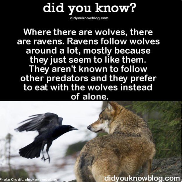 Who knew ravens and wolves were such besties?!