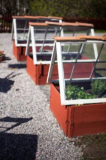 Raised beds covered with old windows, Sweden.