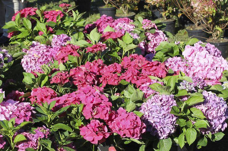 Come coltivare l'ortensia in vaso e mantenerla fiorita per tutta l'estate