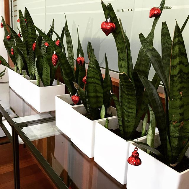 Starting to look a lot like Christmas  #meneroffice #fremantle #perth #red #green #propertydeveloper #officeart #officeplants #mener #ladybossiscrazy #happytuesday