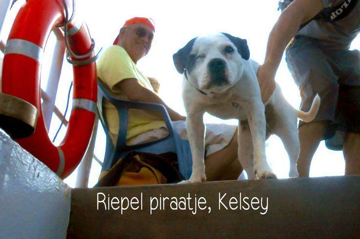 Kelsey, hond tussen de zeehonden. Ons Riepel piraatje gaat overal mee naartoe...