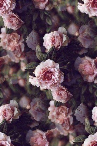 Rosa Blumen # Liebe, #Blumen # Liebe – #Blumen # Liebe # Rosa – Alle Pinnes – # …   – Rose – #Alle #Blumen #Liebe