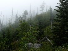 Spruce fir stand near the summit of Clingmans Dome