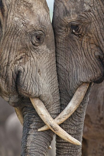 Love: Elephant Love, Elephants, Animals, Sweet, Nature, Beautiful, Photo