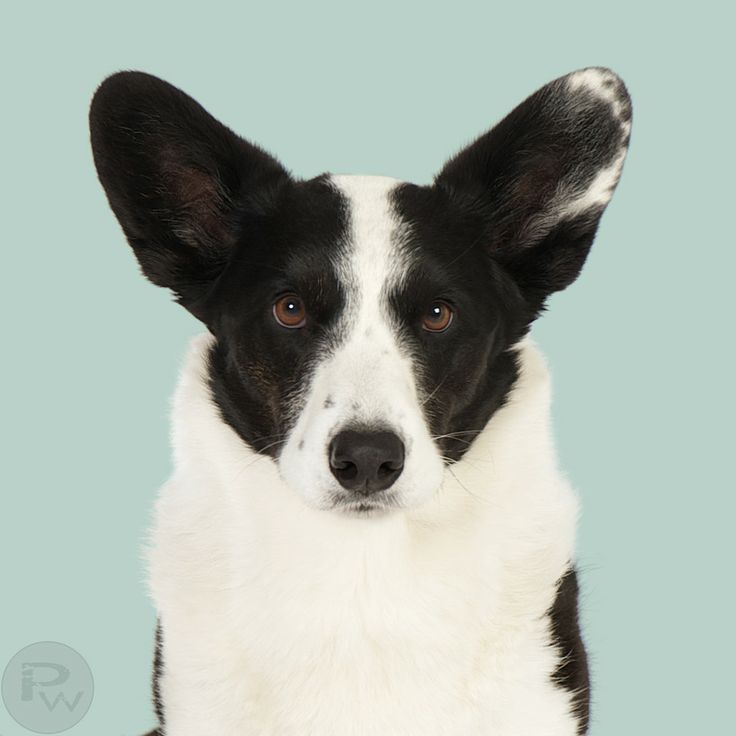 Projekt Hunde Welsh Corgi by Pernille Westh on 500px