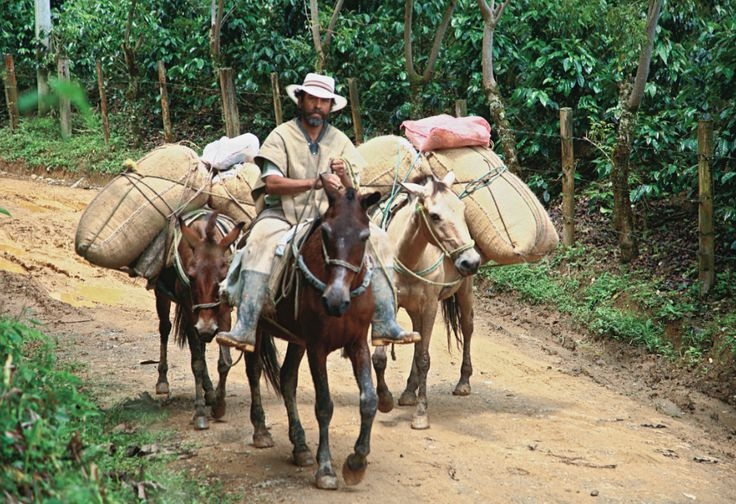 This is a traditional way of transporting coffee in Colombia, a curious fact about what's behind of a delicious cup of Colombian coffee. Find more about transportation http://colombiancoffeehub.com/origin#post929 �
