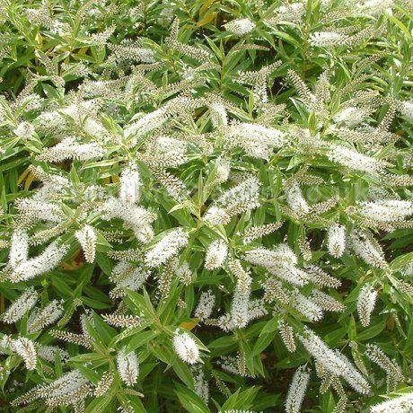 Hebe salicifolia - Hebe - Koromiko | Southern Woods