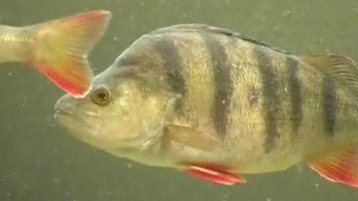 KPL4: Suomen kalat, video ja tietoa Vakituisesti vesissämme uiskentelee noin 70…