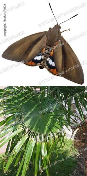 Nematode contre le papillon du palmier paysandisia archon for Traitement contre les chenilles