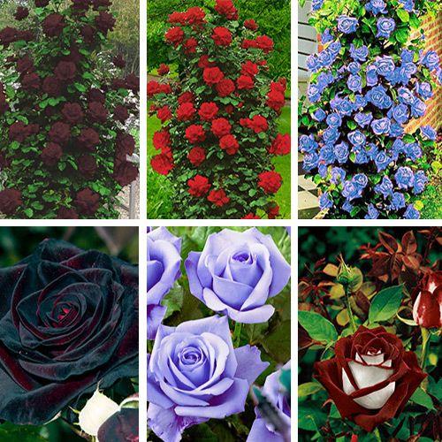 Суперпредложение! Комплект роз плетистых и чайно-гибридных из 6-ти саженцев - http://domicad.com.ua/