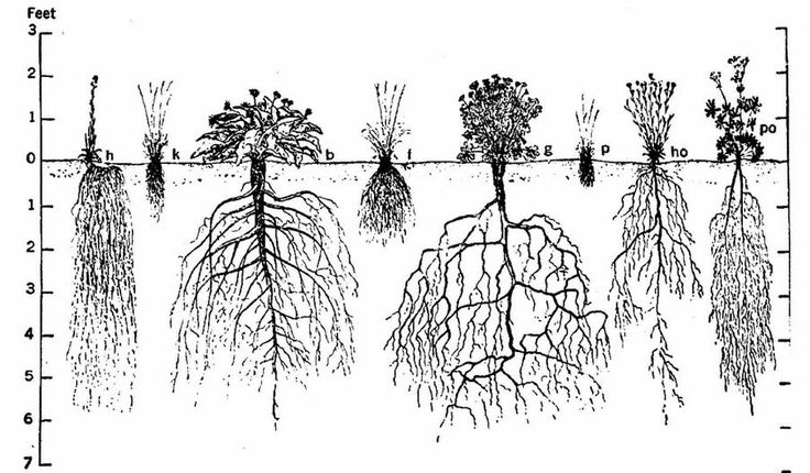 root structures  fibrous roots  tap roots  storage roots