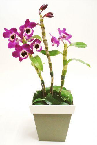 Dendrobium nobile: Também conhecida como olho-de-boneca, esta orquídea tem sempre um tom mais escuro no centro, variando entre o rosa e o roxo. Sua altura atinge varia de 30 a 40 cm e ela acaba envergando devido ao excesso de peso. As flores duram entre 15 e 20 dias e sua rega deve ser reduzida no inverno. Geralmente, floresce uma vez ao ano. Deve ficar à meia-sombra, evitando o sol direto entre 11h e 14h. A rega depende do substrato que vem no vaso: casca de madeira absorve mais rápido a…