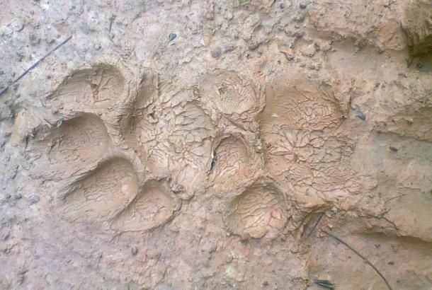 Las huellas de los animales salvajes son visibles en el fango del nuevo campamento del bloque 31 del Yasuní ITT. Revista PlanV