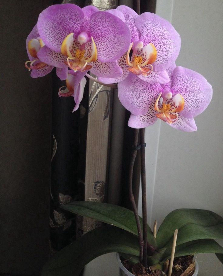 картинки комнатная орхидея вариант матового