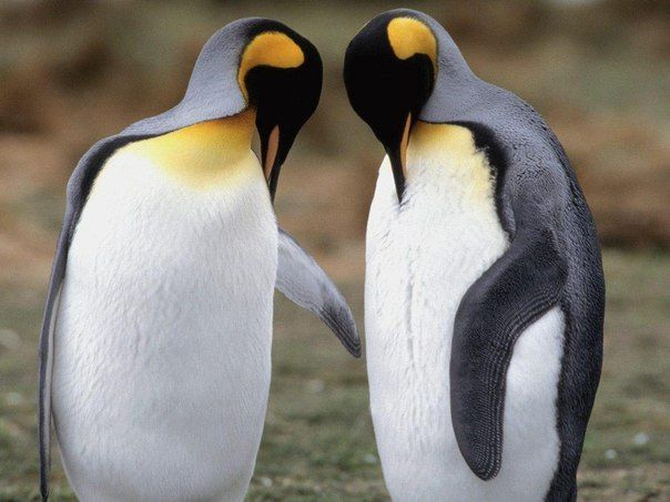 - Ты знал, что если пингвин находит себе пару, он остается с ней до конца жизни
