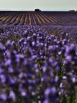 pannekoekman:  lavender fields - Provence by Patrizia Starnone