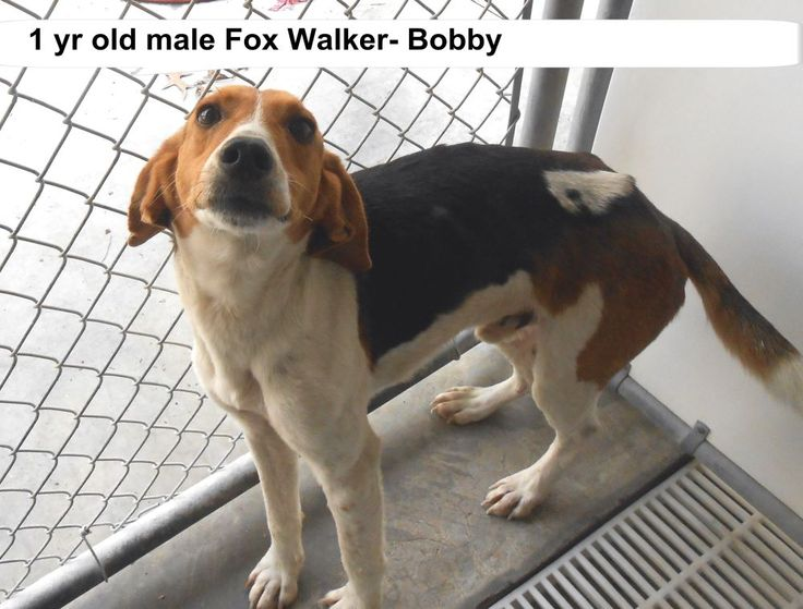 ●TO BE DESTROYED 4/7/15●SUPER SUPER URGENT!!!*** - PLEASE SAVE BOBBY!! -Bobby Breed:Foxhound (mix breed) Age: Young adult Gender: Male Size: Medium Special needs: hasShots, Location: Elizabethtown, NC Read more at http://www.dogsindanger.com/dog/1427175401120#hv4DBAvgBgMAzmWX.99 - About Bobby: Bobby is a fox walker hound dog. He would be a great new friend. He needs to be someone's special dog. The shelter is FULL, Please don't leave him there. . Call Silvia and Debbie now,,,,,Silvia is…