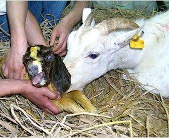 Chèvre Boer clonée