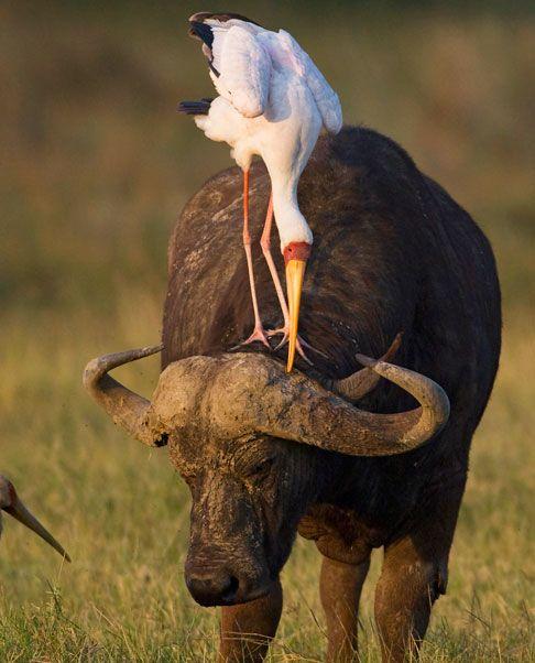African Buffalo and Yellow-billed Stork, Lake Nakuru, Kenya. Photo by Ian Nelson, UK #animals #buffalo