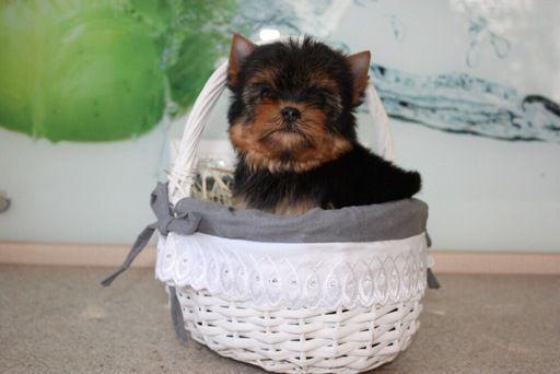 Yorkshire Terrier Puppy For Sale In Stafford Va Adn 71307 On Puppyfinder Com Gender Male Age Yorkshire Terrier Puppies Yorkshire Terrier Puppies For Sale