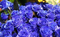 Цветы, синие розы, голубые розы, букет, розы, цветок