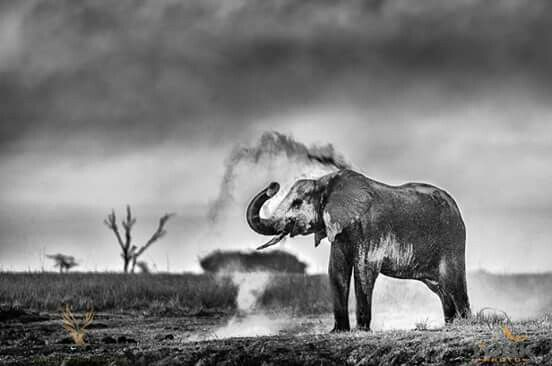 An elephant enjoying a great evening dust bath.  Pangolin Voyager, Chobe River, Botswana with Tusk Photo
