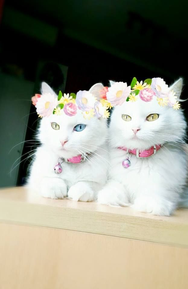 Kitties wearing flowers--white ones with different colored eyes.  Kind of adorably-sinisterish pastel twinzos.  Me gusta.