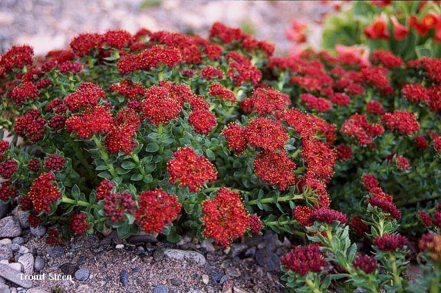 Rhodiola atropurpurea (2) (3) - Rød rosenrot