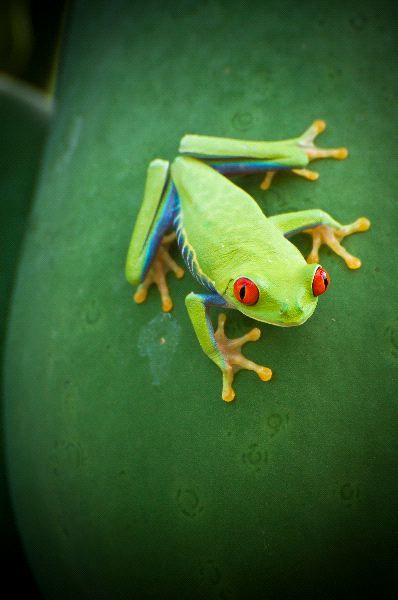 17 Best images about Red Eyed Tree Frog! on Pinterest ...