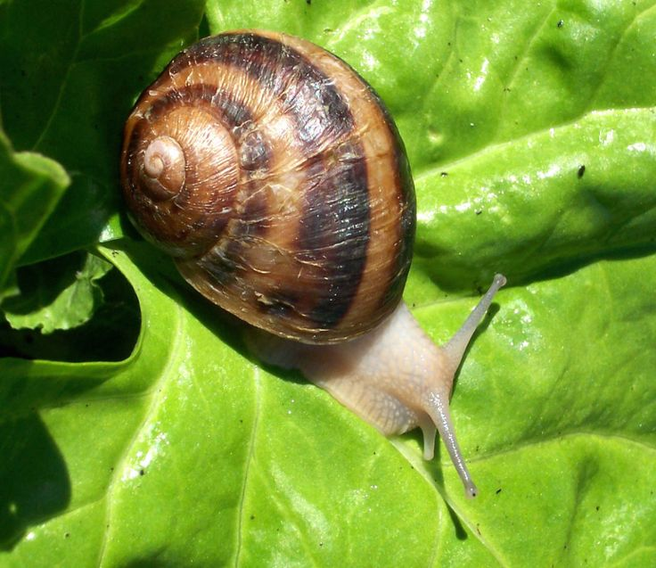 28 best snails farming recipes images on pinterest. Black Bedroom Furniture Sets. Home Design Ideas