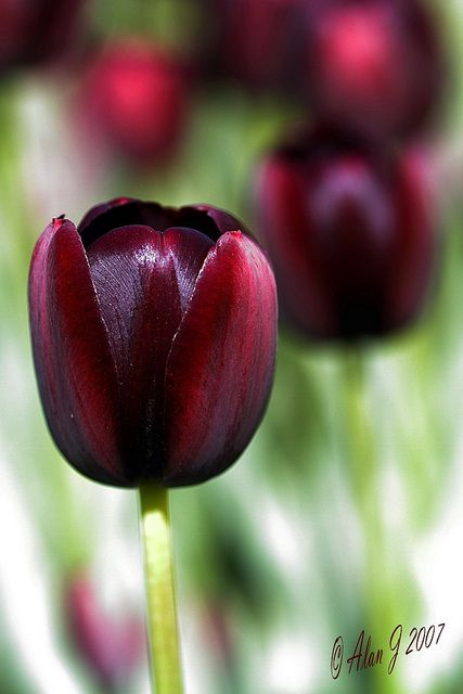 ~~Queen Of The Night ~ tulip by alanj2007~~