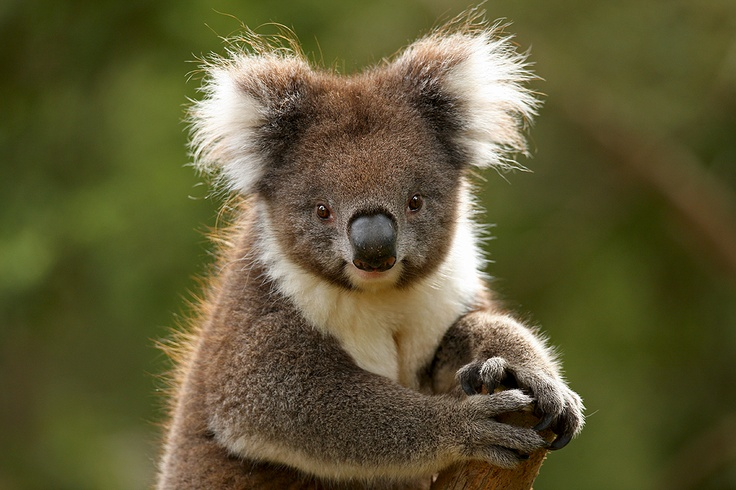 Happy Australia Day from Zoos Victoria. Our Australian Wildlife will be celebrating! http://www.zoo.org.au/