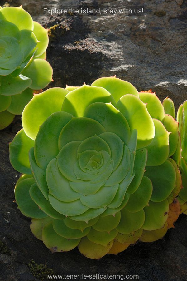 The rosette plants of Aeonium canariensis from the Crassulaceae, Houseleek family. Photographed in Tenerife, Canary Islands.           *      *         *       Tenerife Self Catering offers boutique cottages with pool in the South of Tenerife, why not use us as a base when exploring the entire island for more information, please visit out website https://www.tenerife-selfcatering.com
