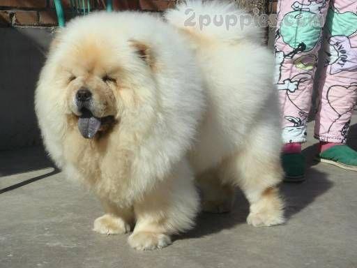 Dog Breed Chow Chow 2puppies Com Puppiesfluffy Big Fluffy