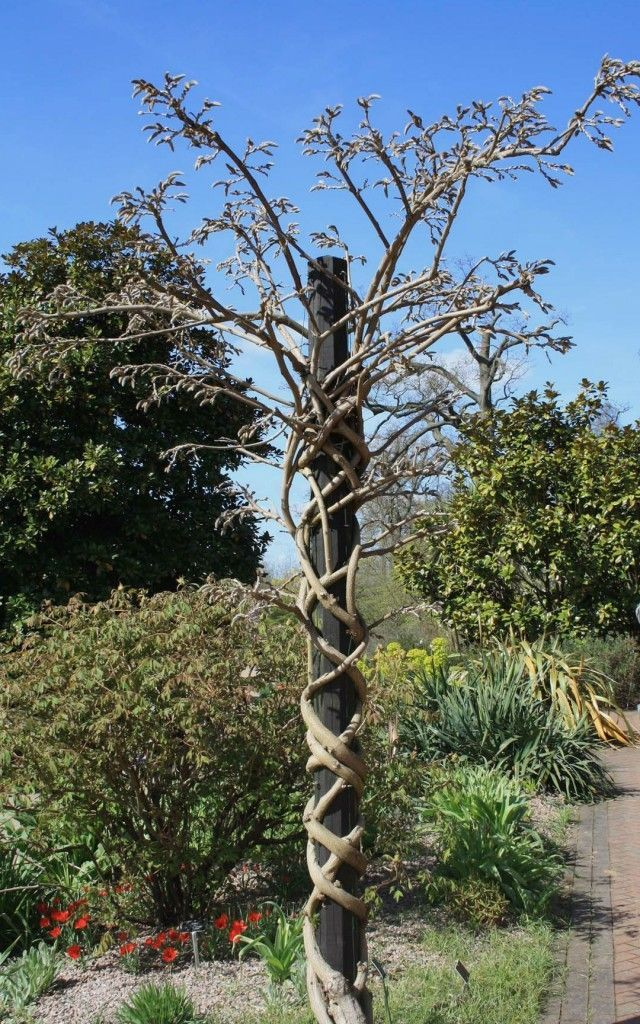 How to grow & prune wisteria- wisteria growing on a pole                                                                                                                                                      More