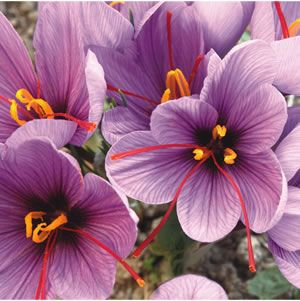 Crocus sativus Lilac flowers in autumn with dark purple on the petals. The orange red saffron stigmas are used in cooking and as a dye. Plant approximately 15cm deep to encourage flowering. Grows 5cm high x 10cm wide