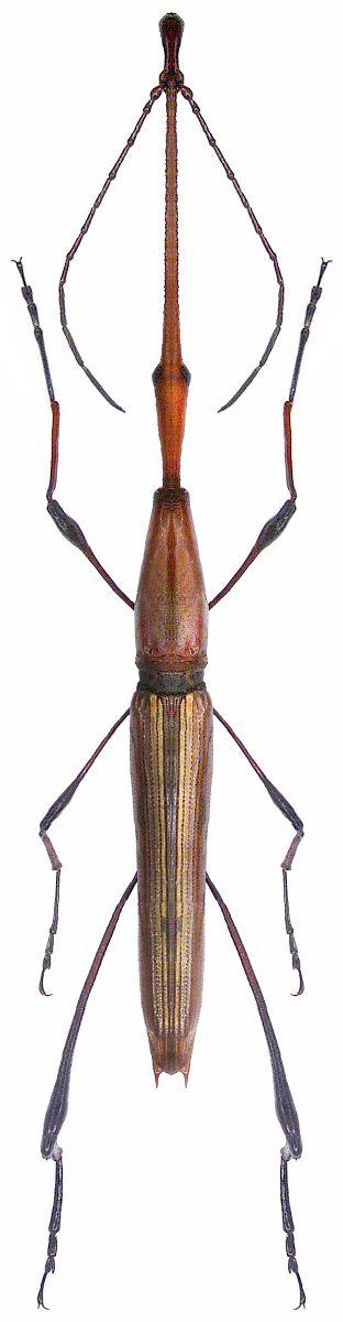 Ithystenus sp.