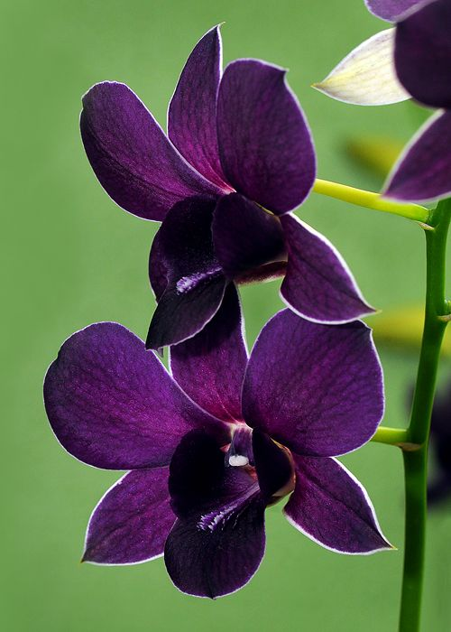 "Dendrobrium orchid, The name is derived from the Greek dendron (tree) and bios (life), meaning ""one who lives on trees."