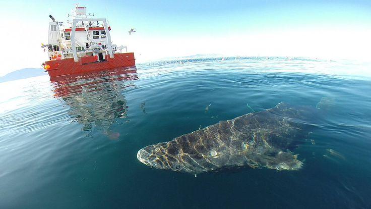 Eishaie können 400 Jahre alt werden und sind die langlebigsten Wirbeltiere der…