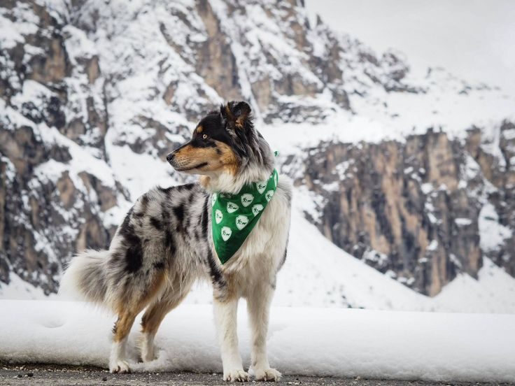 ITALY - DOLOMITES, Camping with dogs, Australian Shepherd Paul Anka