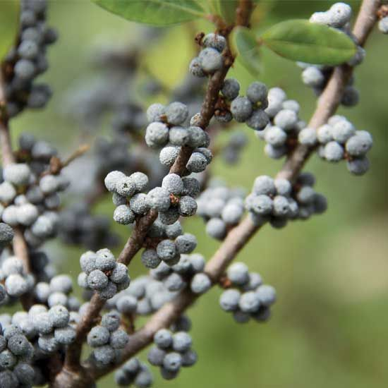 Bayberry candles were a prized possession in Colonial America, and with a little work, you can grow your own native shrubs to process the crisp-scented berries at home.