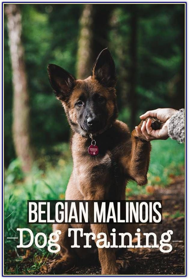 Tips For Raising A Happy And Healthy Puppy Dog Training Tips And Tricks In 2020 Malinois Training Dog Training Malinois Dog