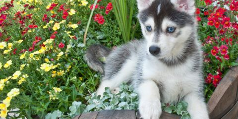 Below are the top Pomsky breeders in Ohio as we have taken all the hard-work on choosing and detailing the top breeders based on customer experiences, experience, shipping and delivery options, price, and much more. Feel free to browse the information below as we have also reviewed each breeder and detailed all contact information making …