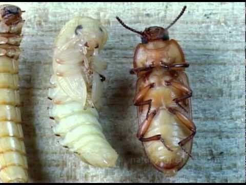 Tenebrio beetle metamorphosis (#416) - YouTube