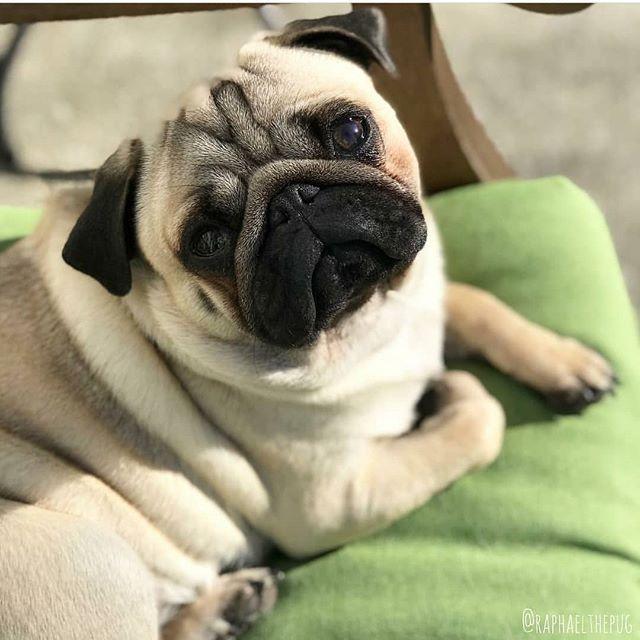 Worship Me My Rolls Pug Pugs Pugstagram Pugsofinstagram Dog