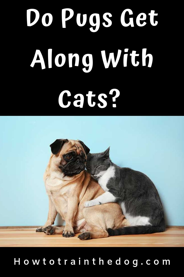 Do pugs get along with cats lets find out pugs cats