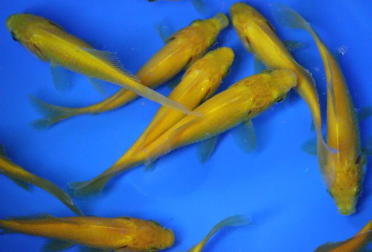 Details about 4 5 inch live yellow comet goldfish for fish for Comet pond fish