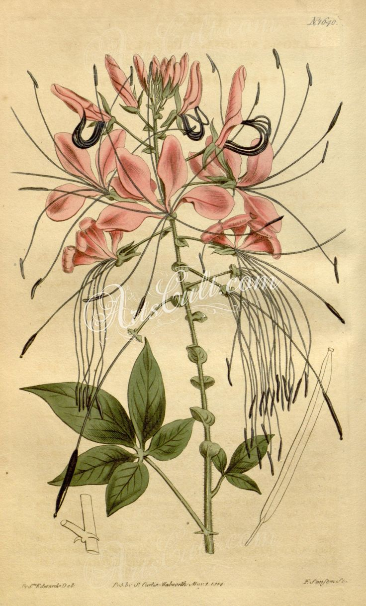 1640-cleome spinosa, Prickly Cleome      ...